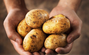 krumpir 1