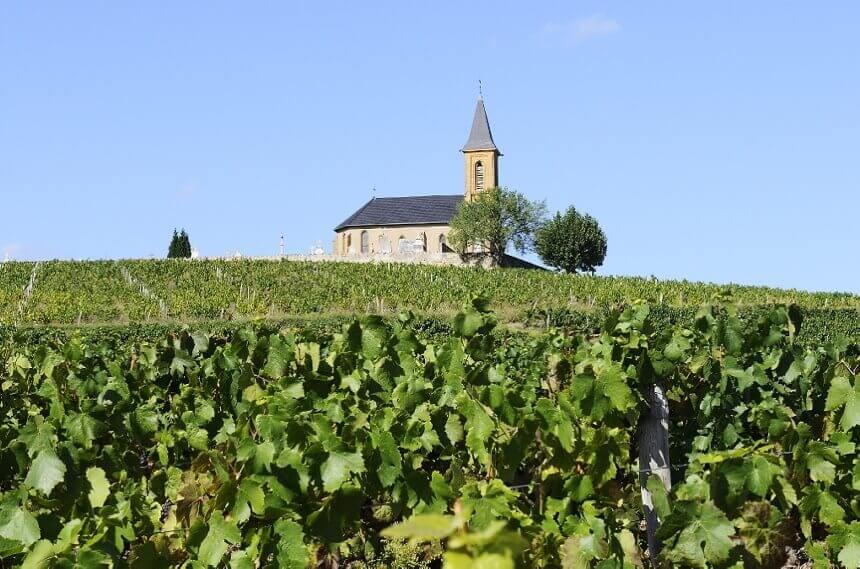 francuski-vinograd