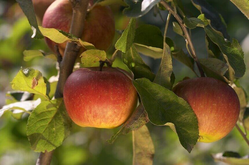 stablo-jabuke